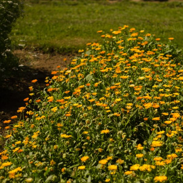 Semences de calendule (Calendula officinalis)   Jardin des vie-la-joie   Artisan semencier