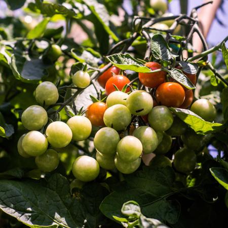 Tomates Chadwick | Jardin des vie-la-joie | Semencier artisanal