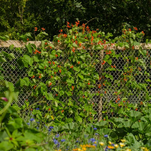 Semences de haricot grimpant d'espagne (Phaseolus coccinus )   Jardin des vie-la-joie   Artisan semencier