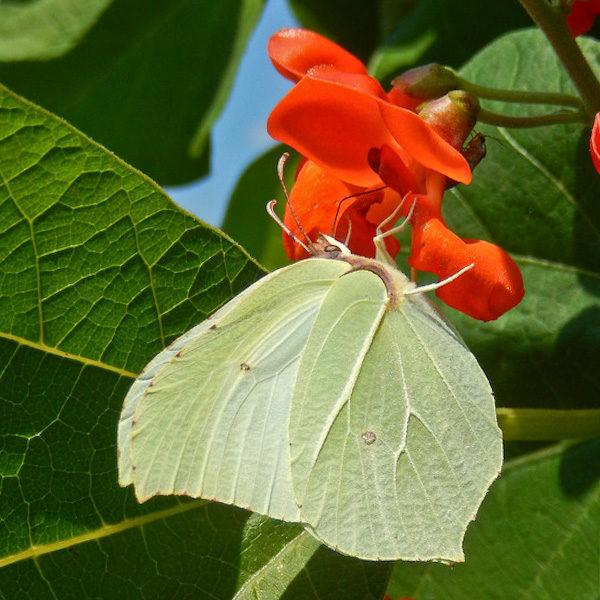 Haricot d'Espagne / Scarlett (Phaseolus coccineus) | Jardin des vie-la-joie | Artisan semencier