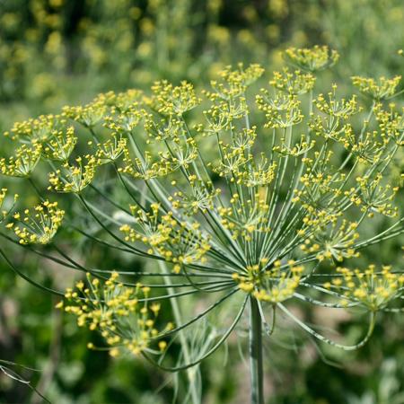 Aneth (Anethum graveolens) | Jardin des vie-la-joieNoix tigrée (souchet) (Cyperus esculentus) | Jardin des vie-la-joie | Artisan semencier