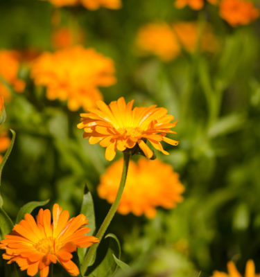 Semences de calendule (Calendula officinalis) | Jardin des vie-la-joie | Artisan semencier
