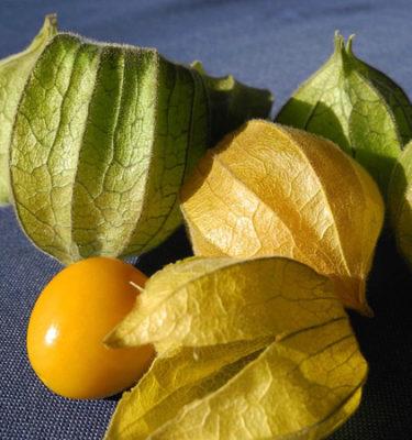 Cerise de terre Golden Husk (Physalis pruinosa) | Jardin des vie-la-joie | Artisan semencier