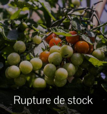 Tomate Chadwick (Lycopersicon esculentum) | Jardin des vie-la-joie | Artisan semencier