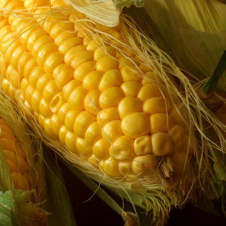 Maïs Golden Bantham (Zea mays) | Jardin des vie-la-joie | Artisan semencier