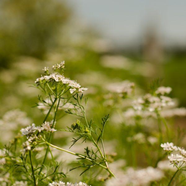 cadeau 5 graines de tournesol 100 Graines de Coriandre-Coriandrum sativum-Coriandre