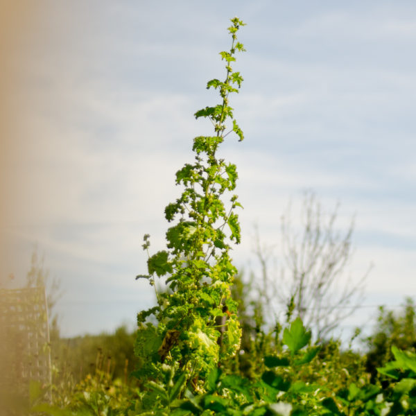 Mauve crépue (Malva verticillata) | Jardin des vie-la-joie | Artisan semencier
