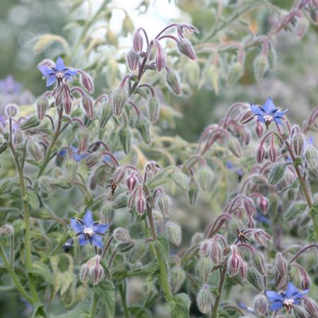 Bourrache (Borago officinalis) | Jardin des vie-la-joie | Artisan semencier