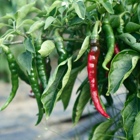 Piment de Cayenne (Capsicum annuum)