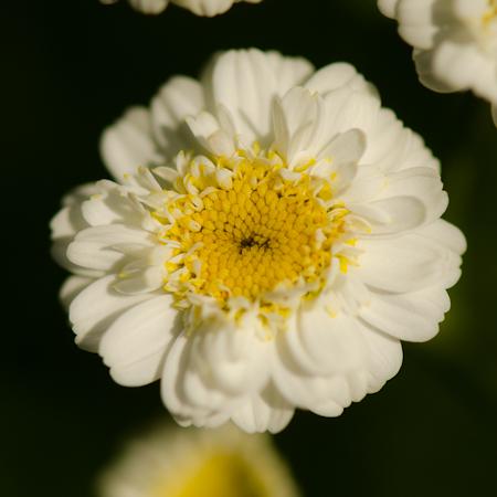 Grande camomille (Tanacetum parthenium) | Jardin des vie-la-joie | Artisan semencier