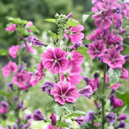 Mauve sylvestre (Malva sylestris var. mauritania) | Jardin des vie-la-joie | Artisan semencier