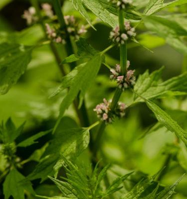 Semences d'agripaume cardiaque (Leonorus cardiaca) | Jardin des vie-la-joie | Artisan semencier