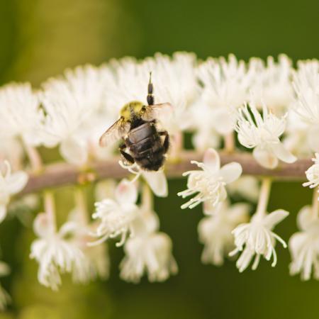 Actée à grappes (Actaea racemosa) | Jardin des vie-la-joie | Artisan semencier