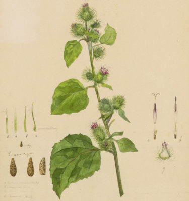 Bardane mineure (Arctium minus)   Jardin des vie-la-joie   Artisan semencier