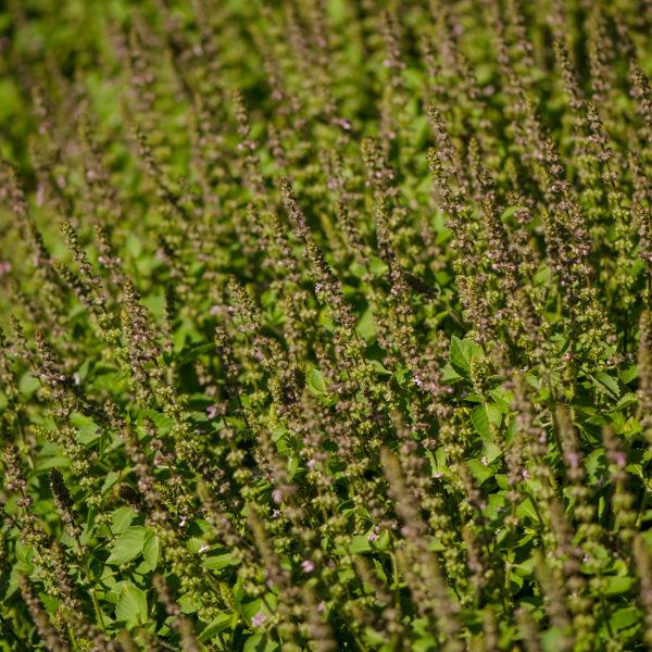 Basilic sacré 'Rama' (tulsi) (Ocimum sanctum) | Jardin des vie-la-joie | Artisan semencier