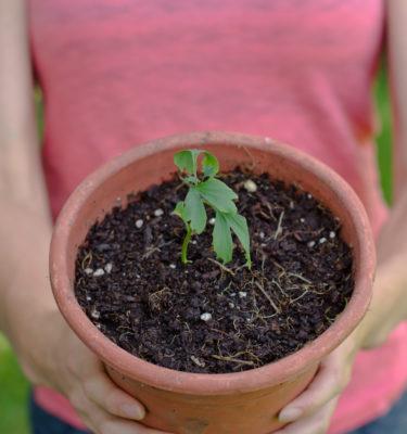 Ginkgo (Ginkgo biloba) | Jardin des vie-la-joie | Artisan semencier