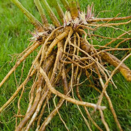 Guimauve (Althaea officinalis) | Jardin des vie-la-joie | Artisan semencier