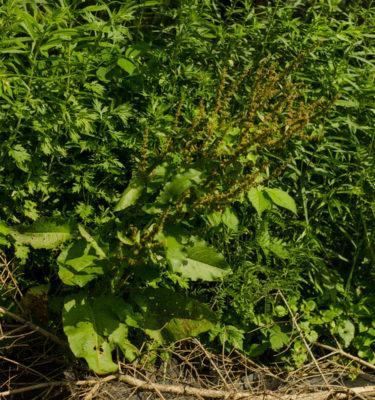Patience crépue (Rumex crispus) | Jardin des vie-la-joie | Artisan semencier
