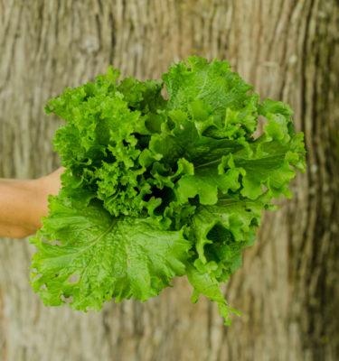 Moutarde Great Wave Miike (Brassica juncea) | Jardin des vie-la-joie | Artisan semencier