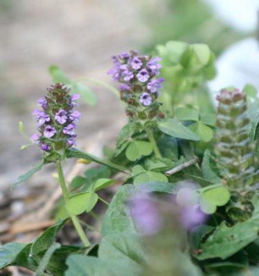Brunelle (Prunella vulgaris) | Jardin des vie-la-joie | Artisan semencier