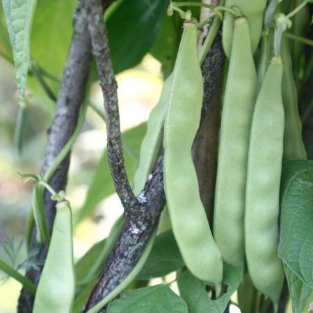 Haricot Norridgewock (Phaseolus vulgaris) | Jardin des vie-la-joie