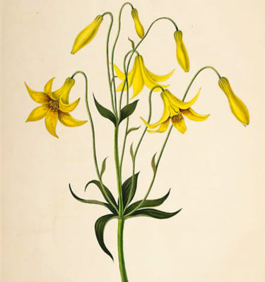 Lis du Canada (Lilium canadense) | Jardin des vie-la-joie | Artisan semencier