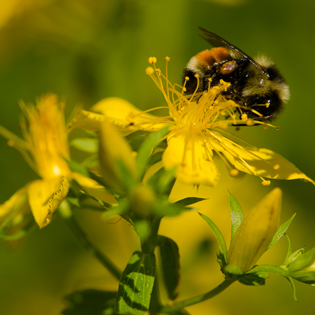 Millepertuis (Hypericum perforatum) | Jardin des vie-la-joie | Artisan semencier