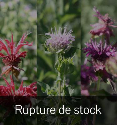 Monarde mix (Monarda) | Jardin des vie-la-joie | Artisan semencier