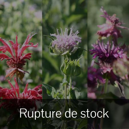 Monarde mix (Monarda)   Jardin des vie-la-joie   Artisan semencier