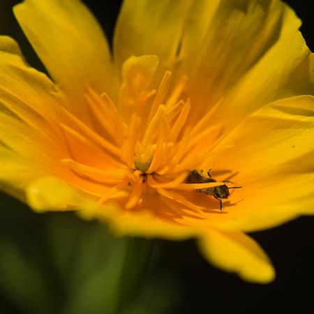 Pavot de Californie (Eschscholtzia californica) | Jardin des vie-la-joie | Artisan semencier