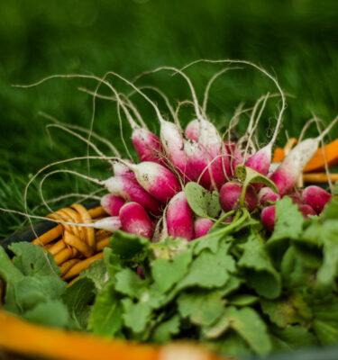 Radis Petit déjeuner Français (Raphanus sativus) | Jardin des vie-la-joieNoix tigrée (souchet) (Cyperus esculentus) | Jardin des vie-la-joie | Artisan semencier