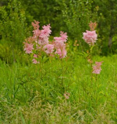 Reine-des-prés rubra (Filipendula rubra) | Jardin des vie-la-joie | Artisan semencier