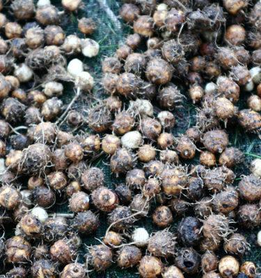 Noix tigrée (souchet) (Cyperus esculentus) | Jardin des vie-la-joie | Artisan semencier