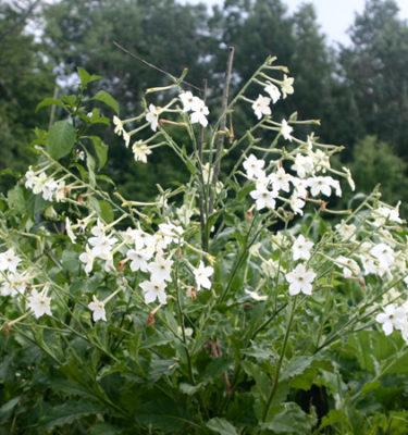 Tabac Aztèque (Nicotiana alata) | Jardin des vie-la-joie | Artisan semencier