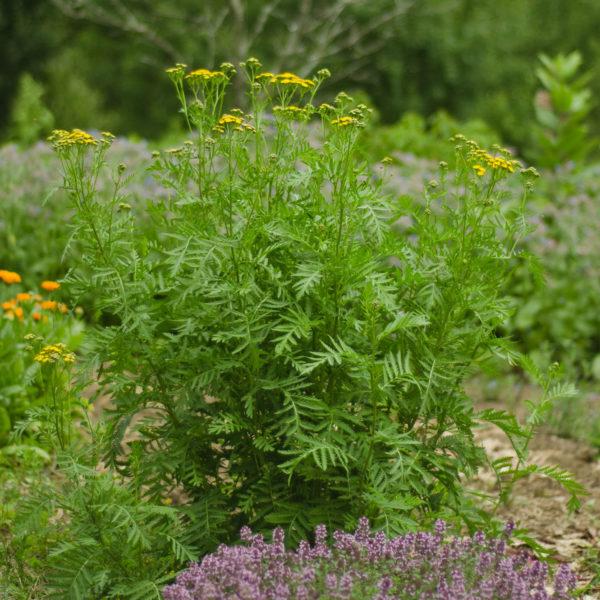 Tanaisie (Tanacetum vulgare) | Jardin des vie-la-joie | Artisan semencier