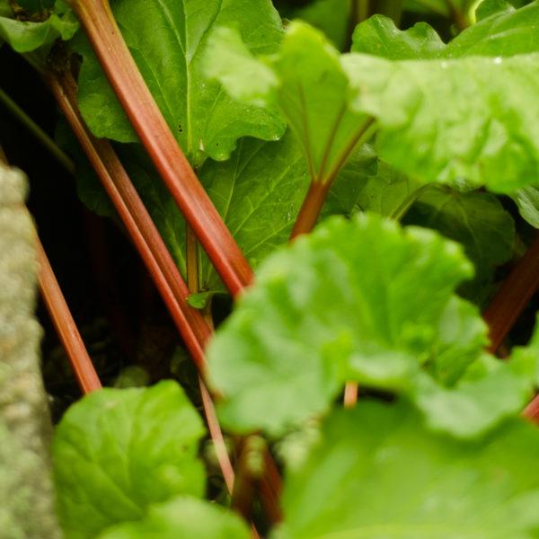 Rhubarbe victoria (Rheum rhaponticum) | Jardin des vie-la-joie | Artisan semencier