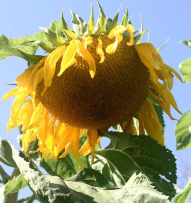 Tournesol 'Giant Mammouth' (Helianthus annus) | Jardin des vie-la-joie | Artisan semencier