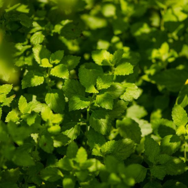 Mélisse (Melissa officinalis) | Jardin des vie-la-joie | Artisan semencier