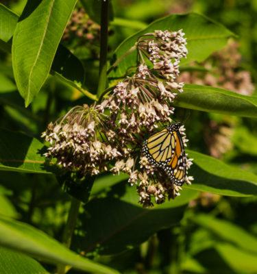 Asclépiade (Asclepias syriaca) | Jardin des vie-la-joie | Artisan semencier