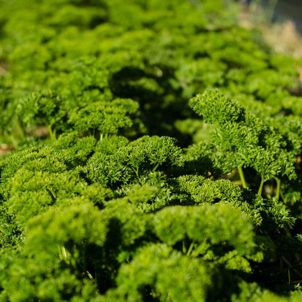 Persil frisé (Petroselinum crispum) | Jardin des vie-la-joie | Artisan semencier