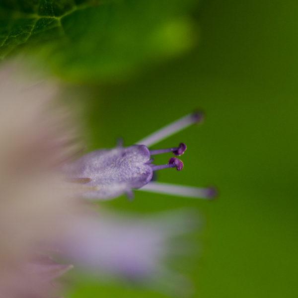 Hysope à l'anis (Agastache foeniculum) | Jardin des vie-la-joie | Artisan semencier
