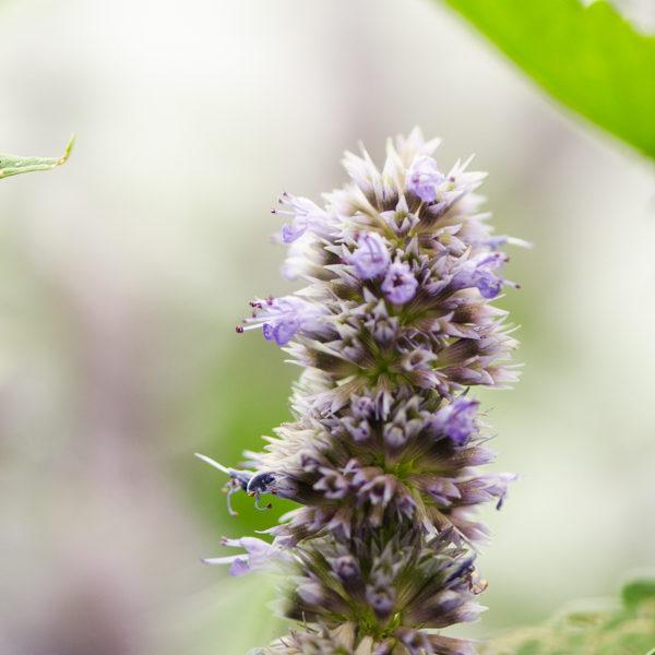 Semences d'hysope à l'anis / Agastache fenouil (Agastache foeniculum) | Jardin des vie-la-joie | Artisan semencier