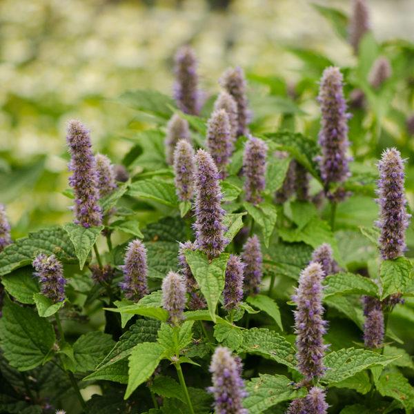 Semences d'agastache fenouil / Hysope à l'anis (Agastache foeniculum) | Jardin des vie-la-joie | Artisan semencier