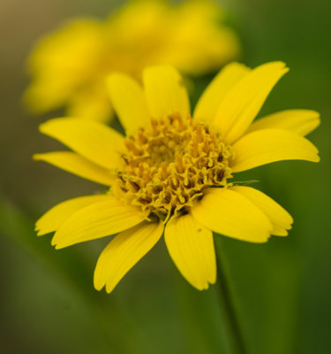 Semences d'arnica de Chamisso (arnica chamissonis) Jardin des vie-la-joie | Artisan semencier