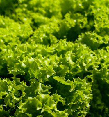 Laitue 'Tango' (Lactuca sativa) | Jardin des vie-la-joie | Artisan semencier