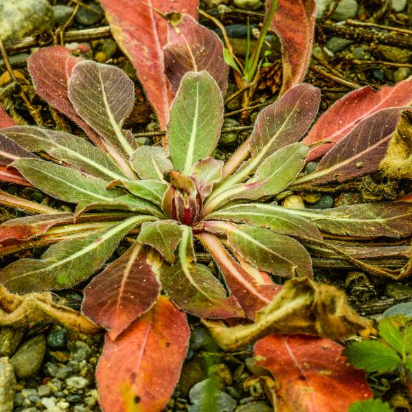 Onagre (Oenothera biennis)   Jardin des vie-la-joie   Artisan semencier