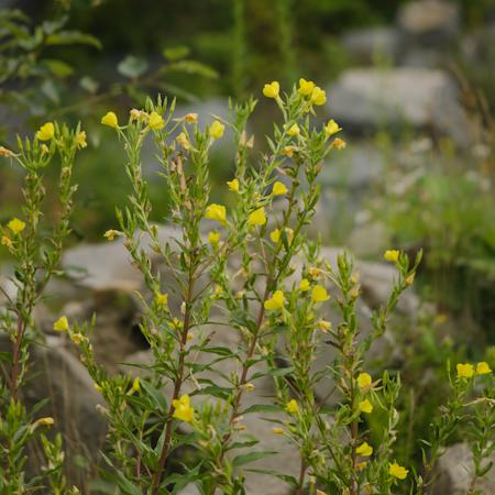 Onagre (Oenothera biennis) | Jardin des vie-la-joie | Artisan semencier