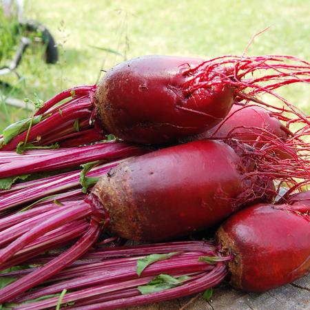 Betterave 'Cylindra' (Beta vulgaris) | Jardin des vie-la-joie | Artisan semencier