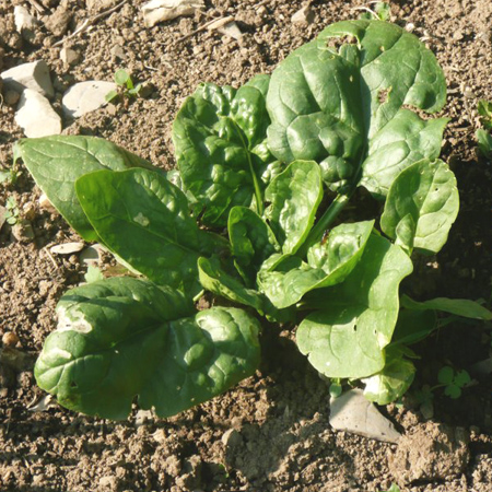 Épinard 'Matador' (Spinacia oleracea) | Jardin des vie-la-joie | Artisan semencier