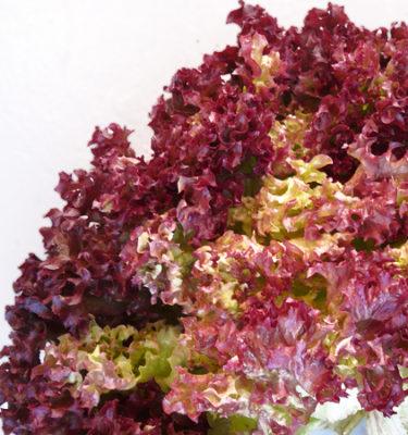 Laitue 'Dark Lolla Rossa' (Lactuca sativa) | Jardin des vie-la-joie | Artisan semencier
